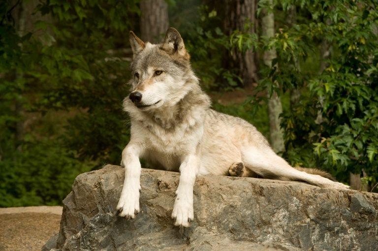 Beautiful wolf sitting on a rock.